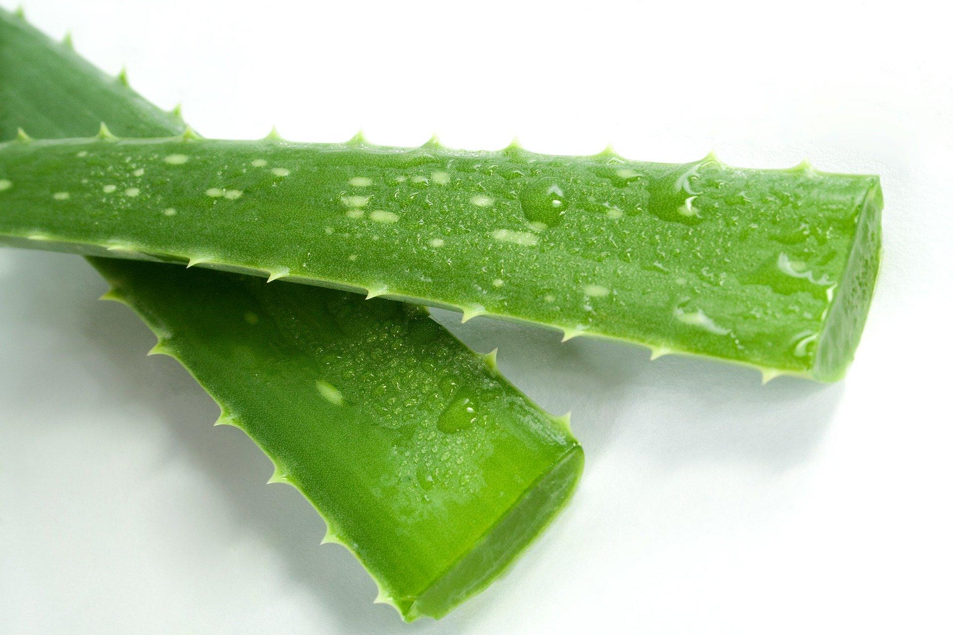 Az Aloe Vera növény